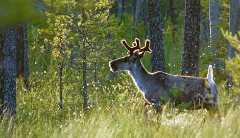 Elokuun taustakuvassa metsäpeura